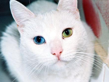 Фото Белый кот с глазами разных цветов (© Margo Fly), добавлено: 20.03.2017 15:04