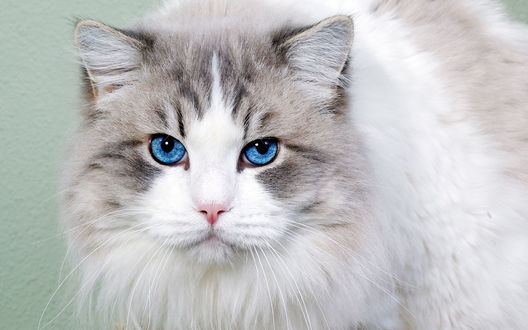 Фото Пушистая голубоглазая кошка (© Margo Fly), добавлено: 20.03.2017 15:17