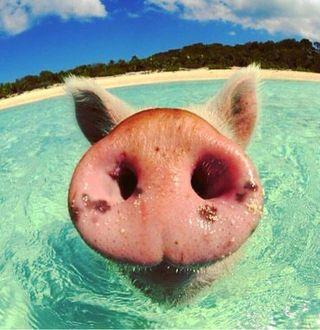Фото Пятачок свиньи крупным планом