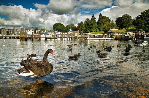 Фото Черные и белые лебеди на воде, by Adrian Petrisor