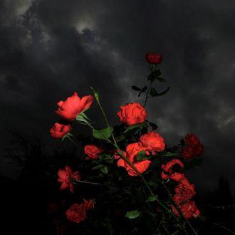 Фото Красные розы смотрят вверх на темные облака
