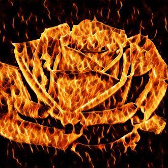 Фото Крупная огненная роза