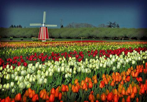 Фото Поле с разноцветными тюльпанами на фоне ветряной мельницы вдали