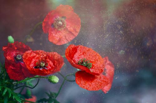 Фото Красные маки с листьями на размытом фоне. Фотограф Таня Маркова