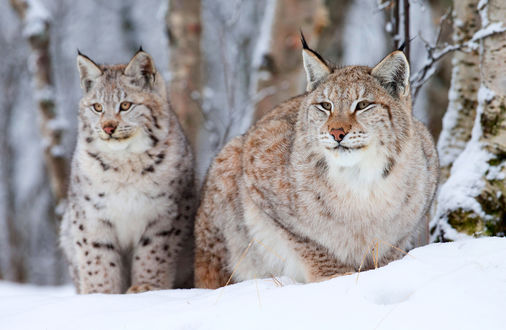 Фото Две желтоглазые рыси на снегу