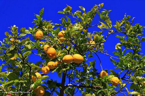 Фото Лимонное дерево с плодами на синем фоне, by Veronique Derouet