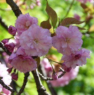Фото Весеннее цветение сакуры, by Ellen M