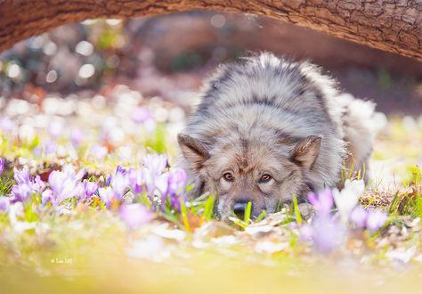 Фото Собака породы евразиер лежит на траве среди крокусов, by Lain-AwakeAtNight