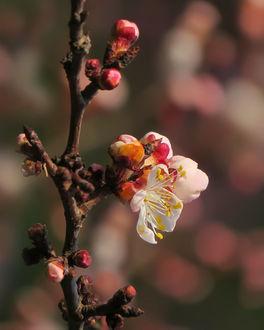 Фото Цветение абрикоса, фотограф Елена Чаусова