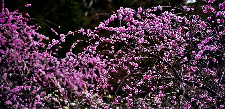 Фото Весенние цветущие веточки сакуры, фотограф Y Okawa