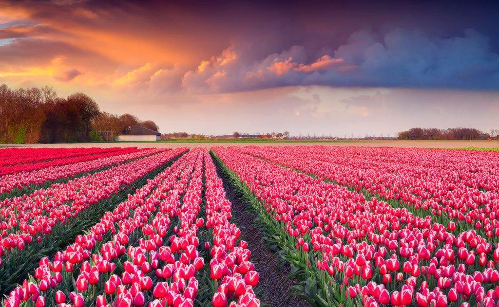 Фото Поле розовых тюльпанов под облачным небом