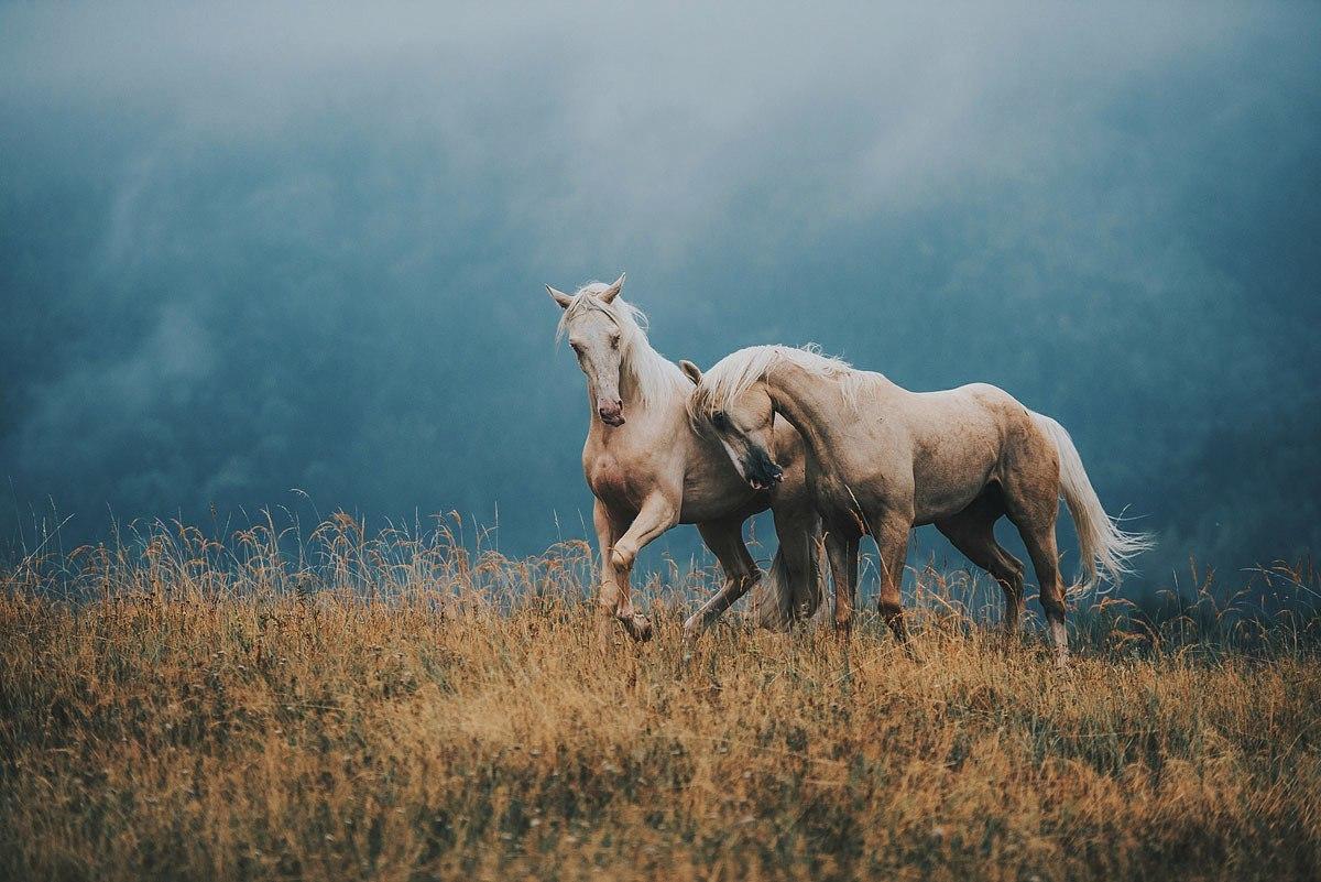 Фото Белые кони на фоне сопки, окутанной туманом