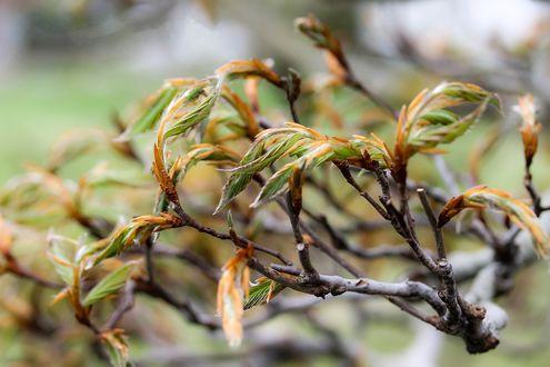 Фото Ветка с распускающимися листьями