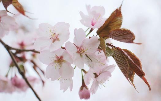Фото Зацветшая весной ветка