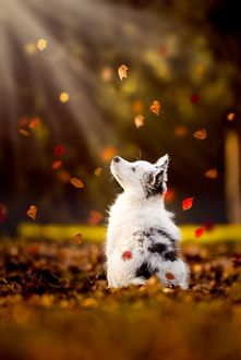 Фото Щенок породы австралийская овчарка смотрит на падающие осенние листья