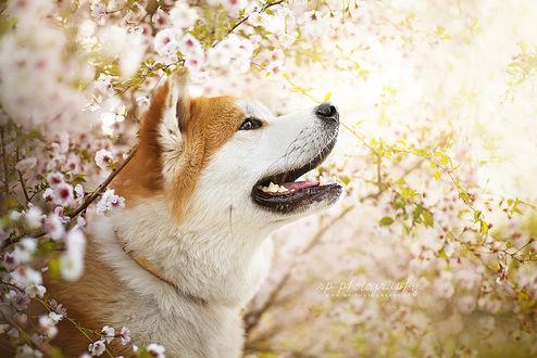 Фото Акита-ину среди веток цветущей сакуры, by Wolfskuss
