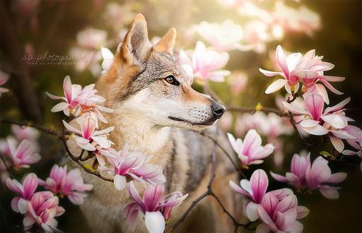 Фото Чехословацкий волчак среди цветов магнолии, by Wolfskuss