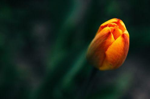 Фото Яркий весенний тюльпан, by Anna Loginova