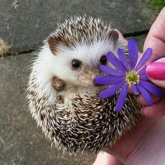 Фото Ежик в руке нюхает цветок фиолетовой ромашки