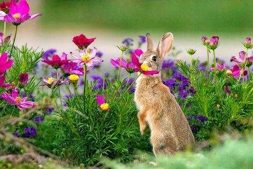 Фото Заяц стоит у цветов космеи, фотограф JH Atala