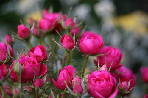 Фото Карликовые кустовые розы