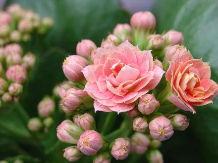 Фото Розовые розы, by DjCerebral