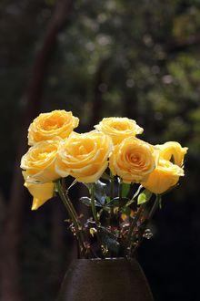 Фото Желтые тюльпаны с каплями воды стоят в вазе, фотограф heaven chang (© zmeiy), добавлено: 21.04.2017 09:48