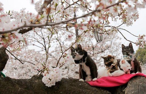 Фото Разноцветные кошки сидят на дереве цветущей сакуры