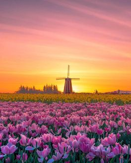 Фото Мельница на тюльпановом поле на фоне закатного неба