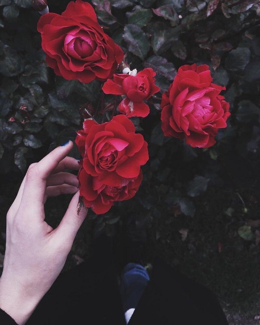 Фото розы 12