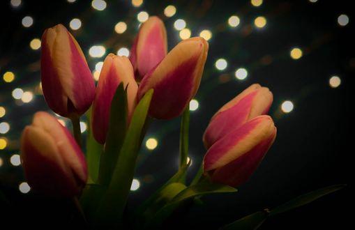 Фото Букет тюльпанов на фоне боке, фотограф Olga Zelinskaya