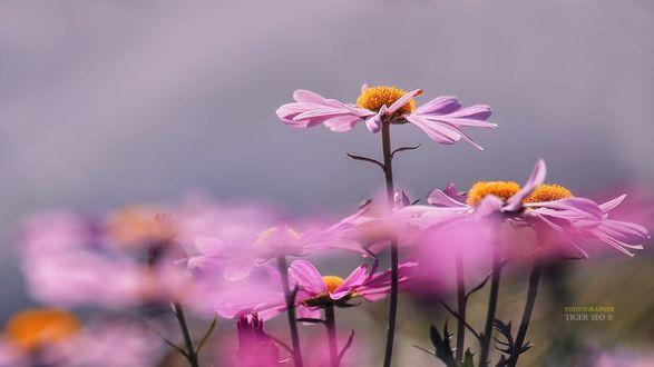 Фото Розовые цветы, by Tiger Seo