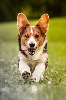 Фото Корги бежит по траве