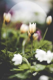 Фото Белые цветы на размытом фоне, by Ellieeh
