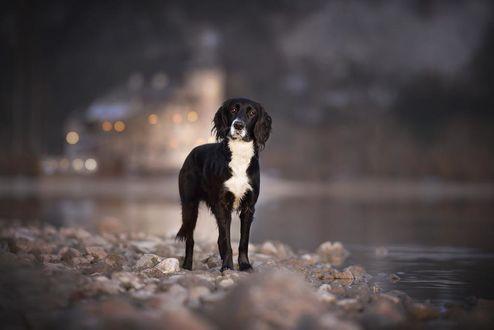 Фото Грустная черно - белая собака стоит на камнях у воды, by Anne Geier