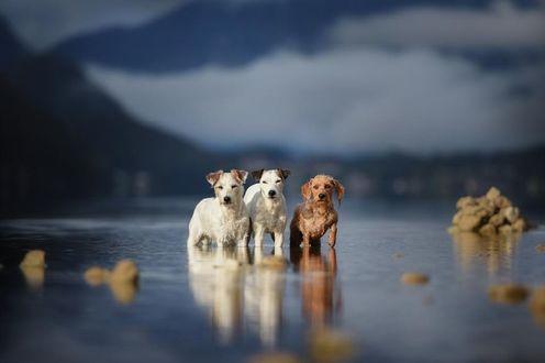 Фото Три собаки стоят в воде на фоне горного пейзажа, by Anne Geier