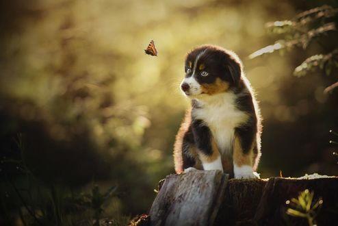 Фото Милый щенок, сидящий на пне, смотрит на порхающую бабочку, by Anne Geier