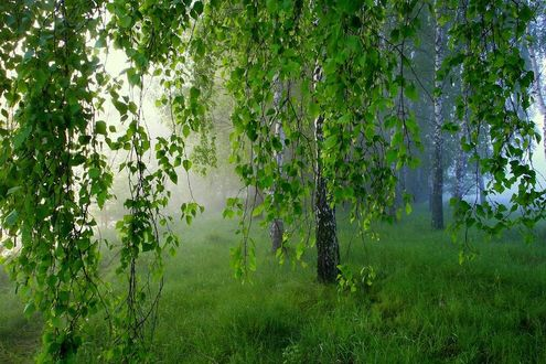 Фото Весенние березы в легком тумане