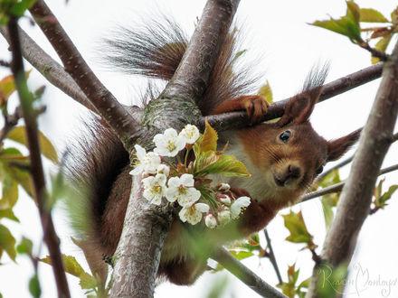 Фото Белочка на весеннем дереве, by RavenMontoya