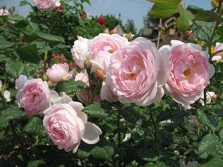 Фото Розовые розы под голубым небом (© zmeiy), добавлено: 25.05.2017 12:49