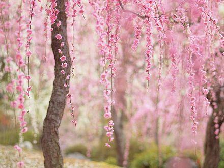 Фото Цветущая весенняя сакура
