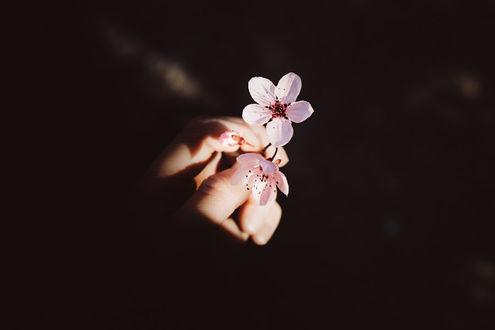 Фото Цветы вишни в руке, by Rona-Keller