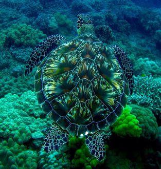 Фото Черепаха под водой