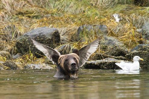Фото Смешное фото медведя, у которого над головой крылья птицы