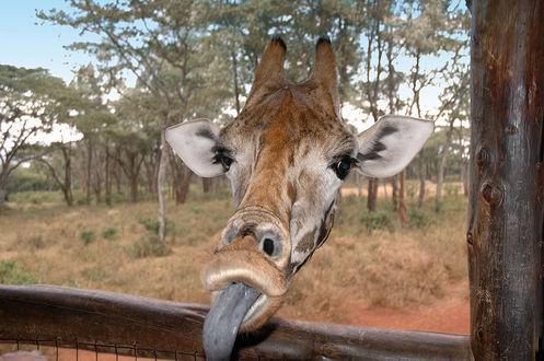 Фото Любопытный жираф заглянул в беседку