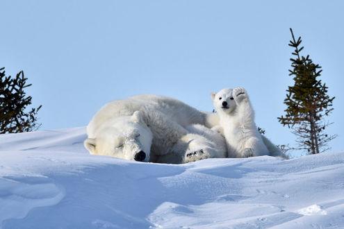 Фото Мать белого полярного медведя дремлет, в то время как ее малыш, полный сил и энергии, позирует на камеру