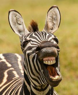 Фото Фото ухмыляющегося самца зебры