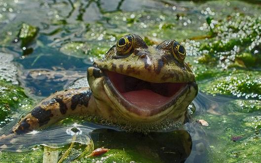 Фото Лягушка широко улыбается на камеру