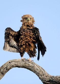 Фото Terathopius ecaudatus / Орел-скоморох прихорашивает свое оперение перед полетом