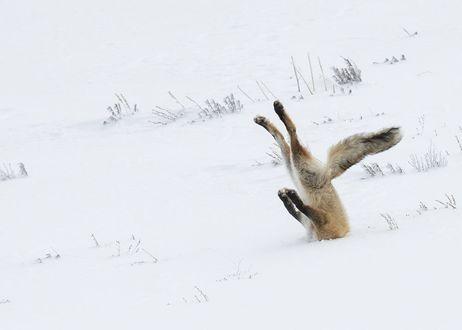 Фото Лиса застряла в снегу Йеллоустонском национальном парке